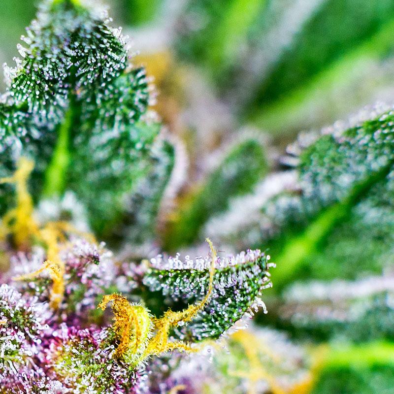 Cannabis marijuana label printers from Afinia Label
